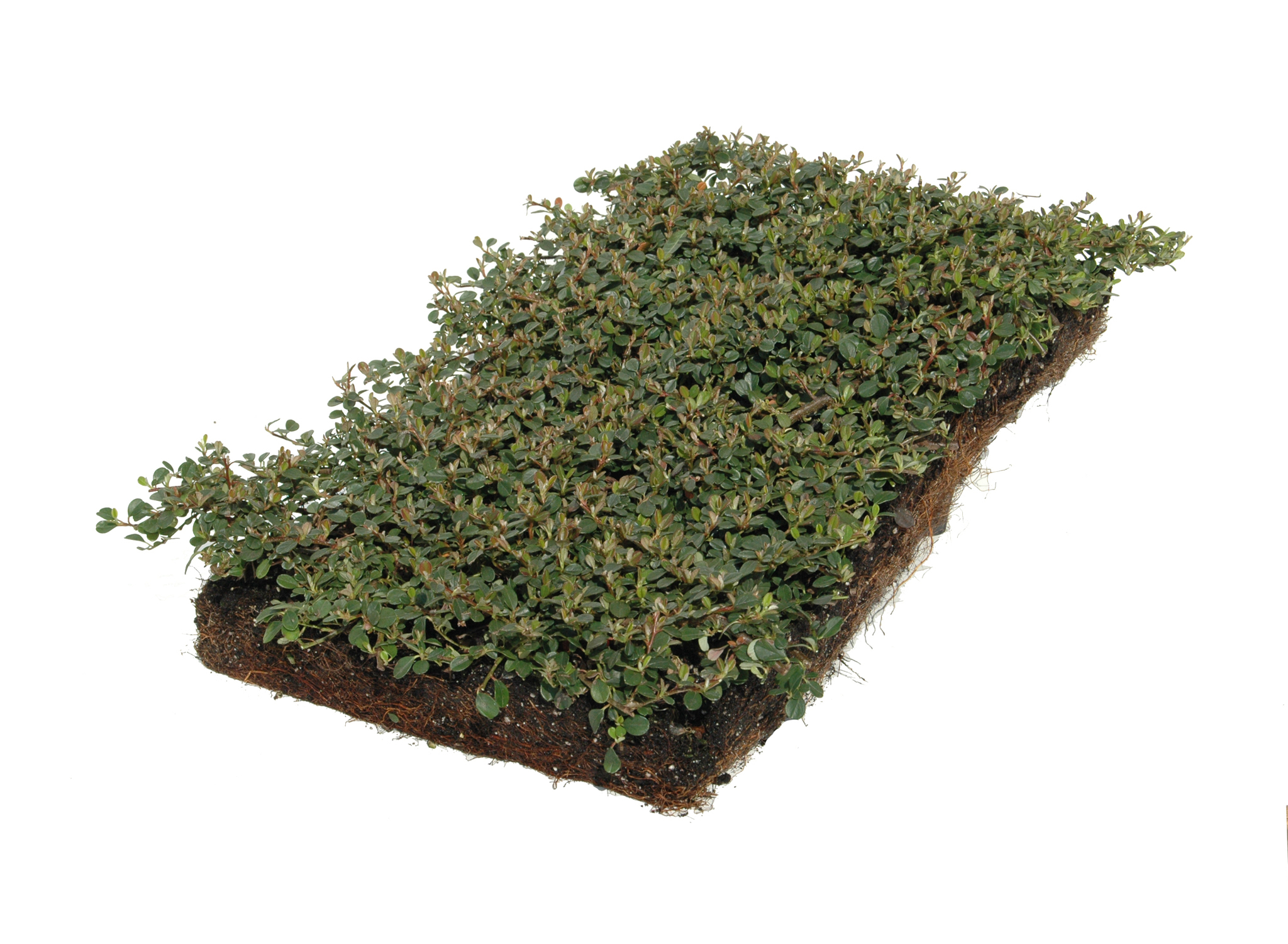 Klassikmatte cotoneaster dam 39 evergreen 39 helix pflanzen for Evergreen pflanzen