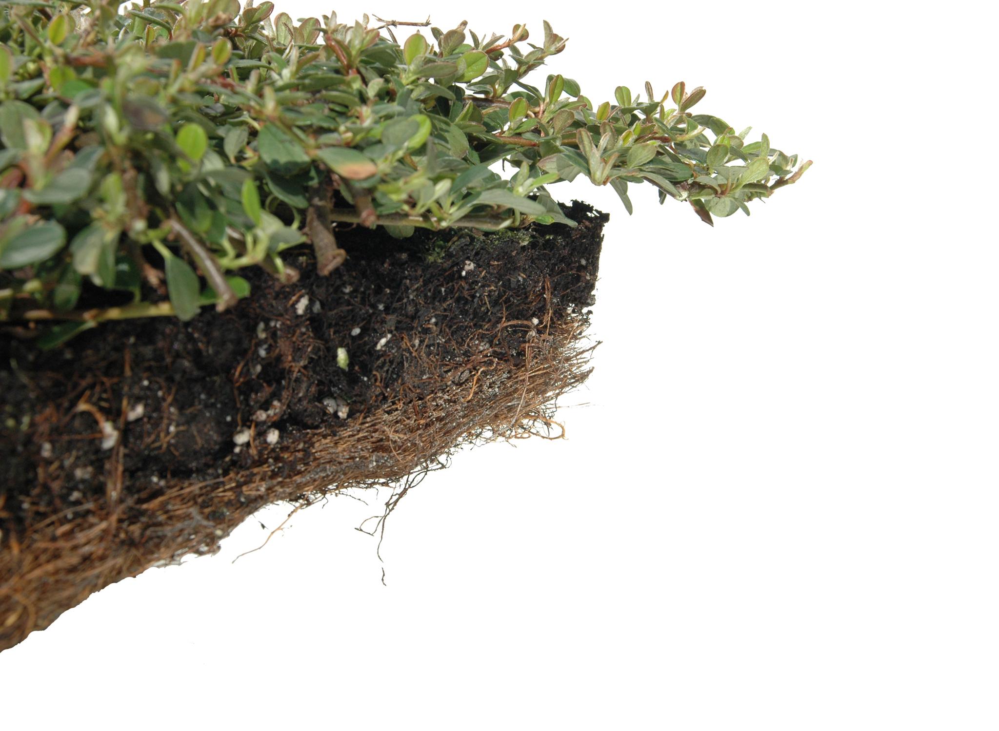 klassikmatte cotoneaster dam 39 evergreen 39 helix pflanzen. Black Bedroom Furniture Sets. Home Design Ideas