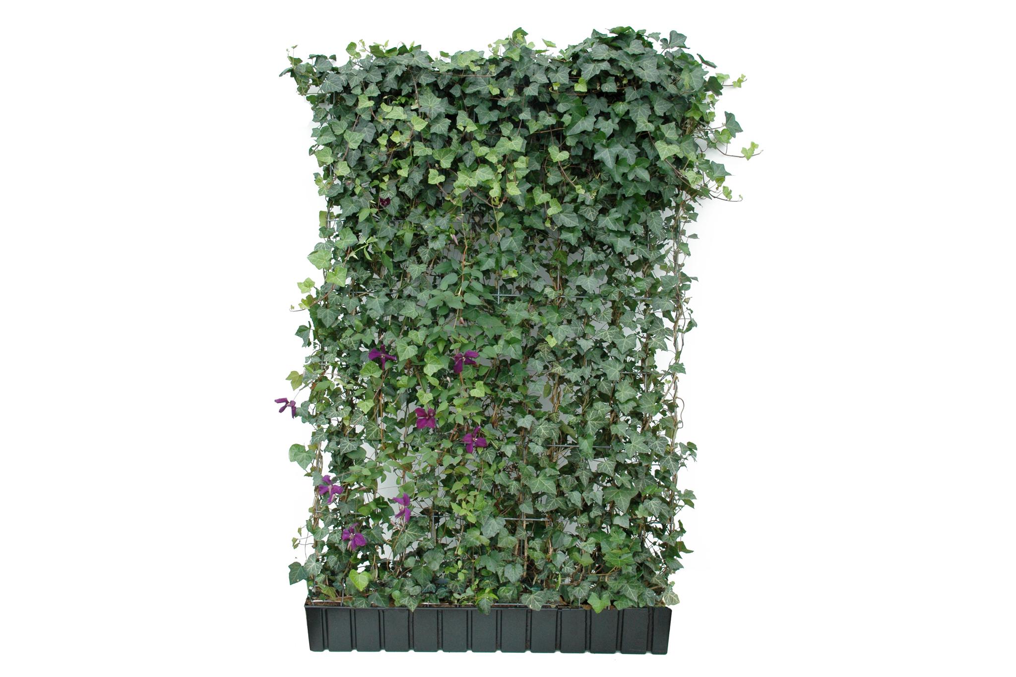 Halm Color Helix Pflanzen