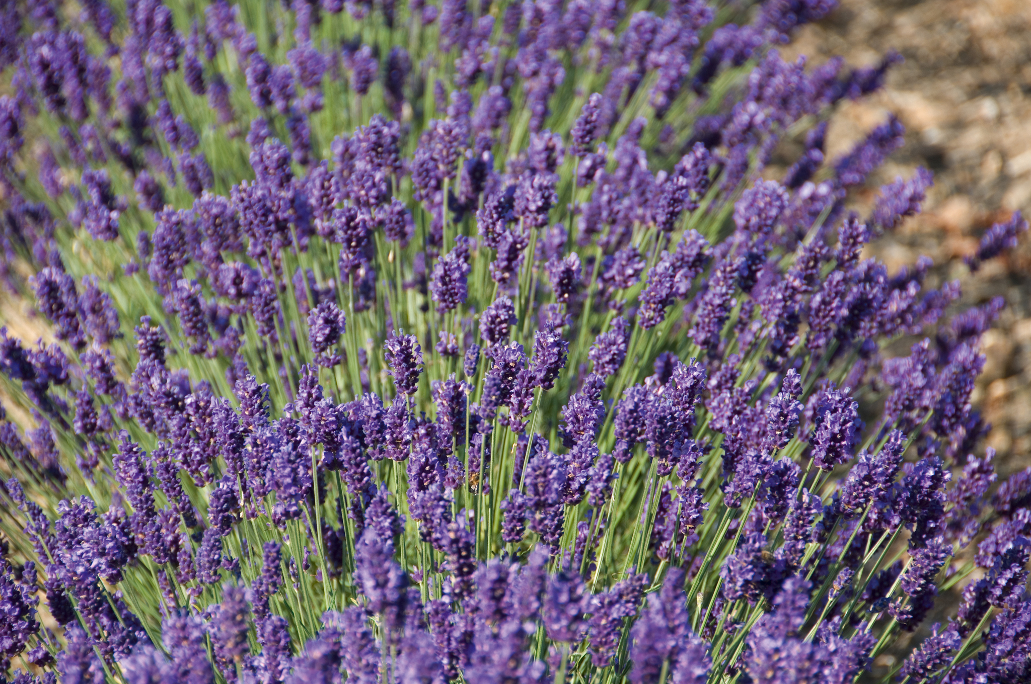 lavandula angustifolia 39 peter pan 39 helix pflanzen. Black Bedroom Furniture Sets. Home Design Ideas