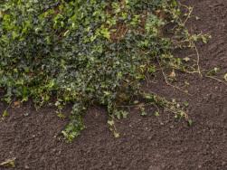 Bodendecker am laufenden Meter® Hedera helix 'Woerneri' Einbau