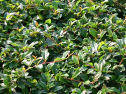 Cotoneaster 'Radicans'