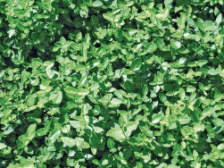 Euonymus radicans