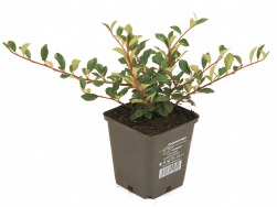 Cotoneaster dammeri 'Eichholz' TB 9x9