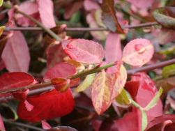 Euonymus fortunei 'Coloratus' – Winterfärbung