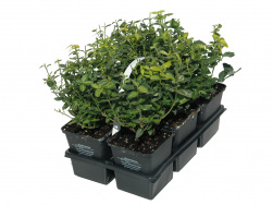 Euonymus fortunei 'Emerald Gold' 6er-Pack TB 9x9