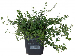 Euonymus fortunei 'Minimus' TB 9x9