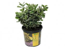 Euonymus japonica 'Caty'®