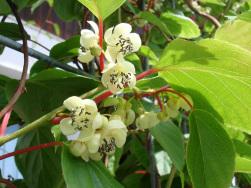 Blüten Kiwihecke