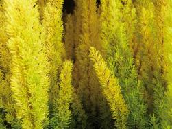 Erica arborea 'Albert's Gold'