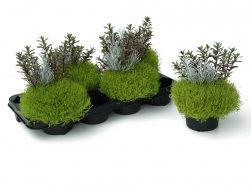 Triverde® Sagina gelb-Helichrysum-Hebe WP 13er