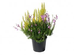 Baumheide-Daboecia violett