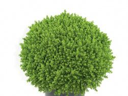 Hebe 'Green Globe'