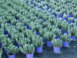 Englischer Lavendel 13er Topf
