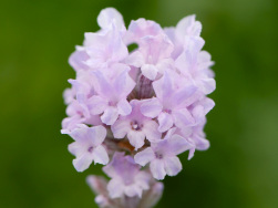 Lavandula angustifolia 'Little Lottie'