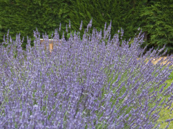 Lavandula x intermedia 'Sussex'