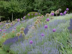 Englischer Lavendel mit Zierlauch