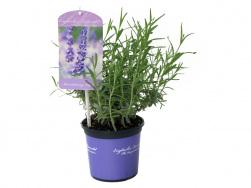 Lavandula angustifolia 'Elizabeth'