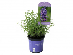 Lavandula angustifolia 'Imperial Gem'
