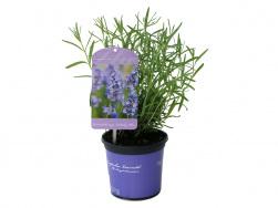Lavandula angustifolia 'Lullaby Blue'