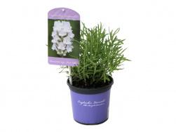 Lavandula angustifolia 'Nana Alba'