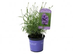Lavandula angustifolia 'No. 9'