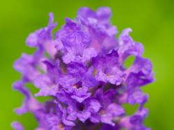 Lavandula angustifolia 'Lavenite Petite'