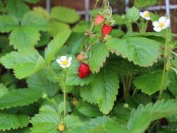 Naschen erlaubt - Erdbeeren im Grünen Zimmer