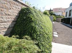 Helix® Repens DG nach einer Vegetationsperiode